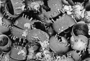 kremelina-diatom